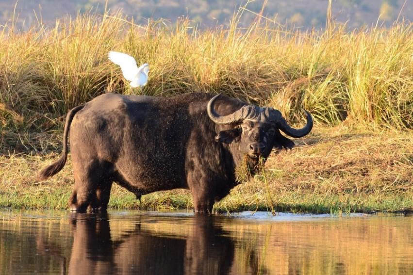 Wasserbüffel am Ufer des Chobe