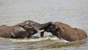 Krüger Nationalpark badende Elefanten