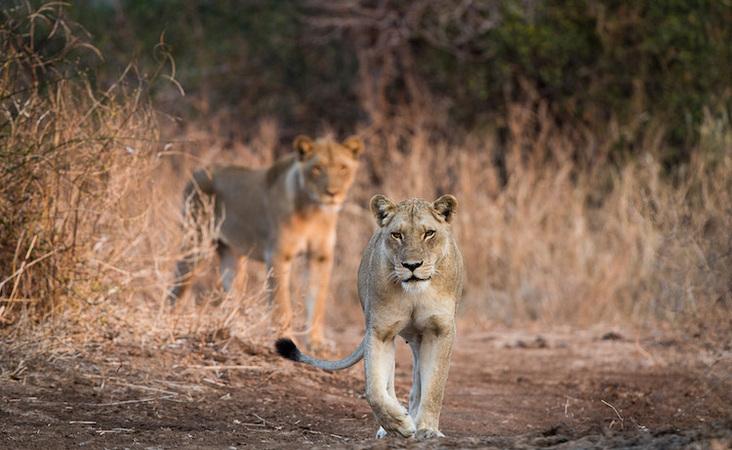 2 Löwinnen auf Beutejagd