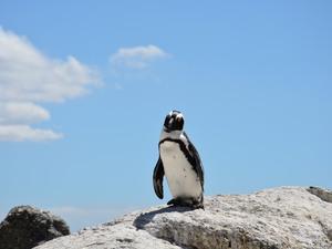 Pinguin am Boulder's Beach