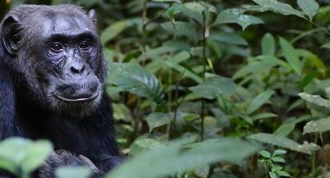 Gorilla, Berggorilla, Silberrücken in Uganda