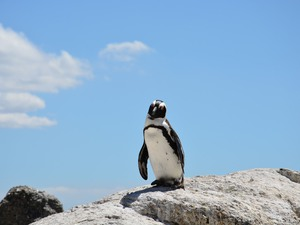​Pinguin am Boulder's Beach