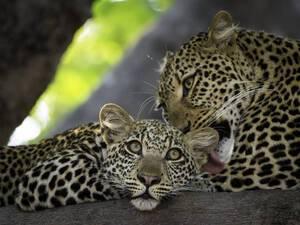 Leoparden in Malawi