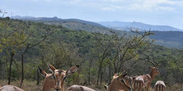 Springböcke in Südafrika
