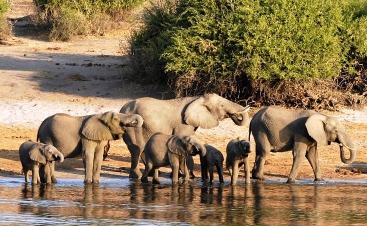 Elefantenherde am Fluss Chobe