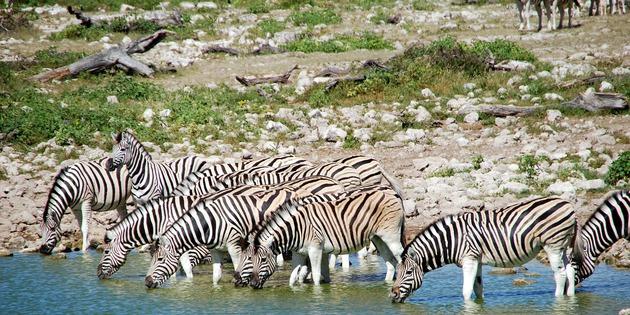 Zebras im Etoshapark am Wasserloch