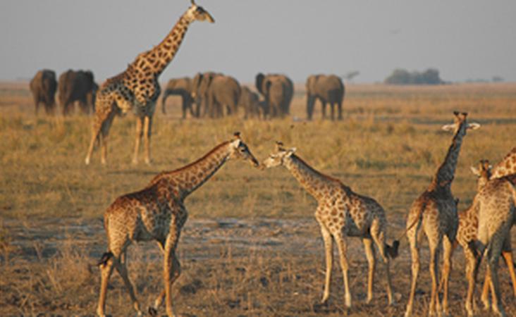 Giraffen im Chobe Nationalpark