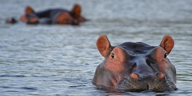 Nilpferd im Krüger Nationalpark