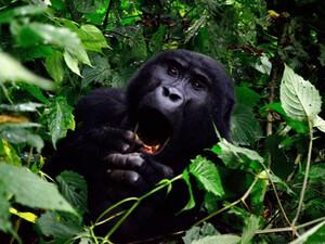 Berggorilla im Nationalpark von Uganda