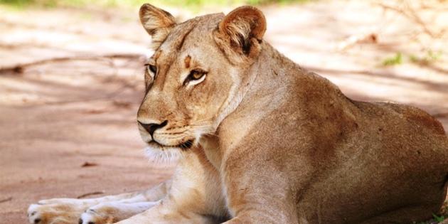 Löwenweibchen im Nationalpark