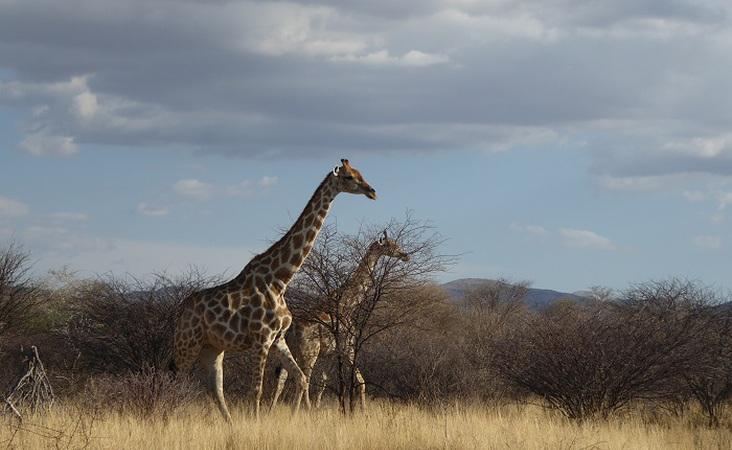 Giraffen im Etosha NP