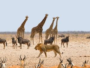Giraffen-Löwe-Oryx