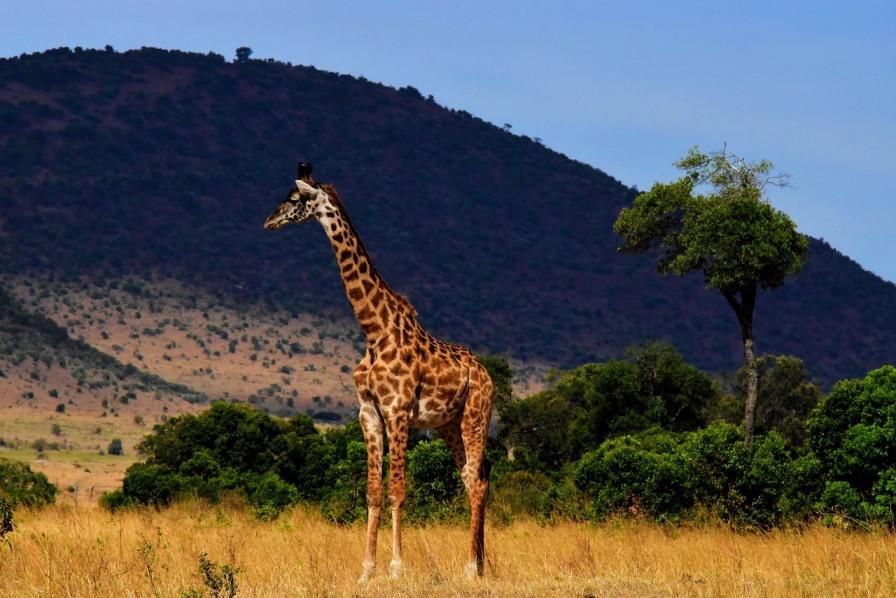 einzelne Giraffe in Afrika