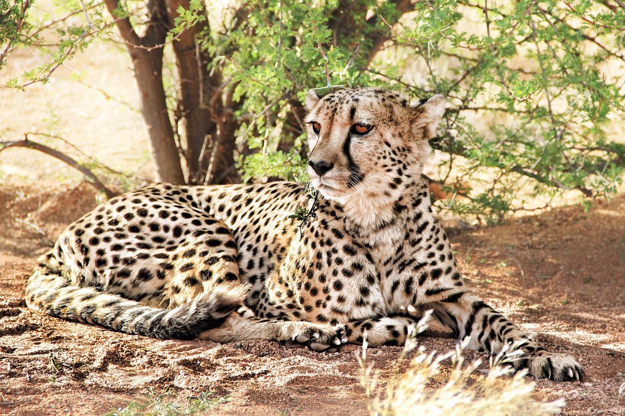 Afrika Tiere Leopard