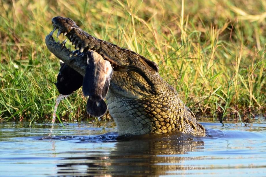 Krokodil im Fluss Chobe