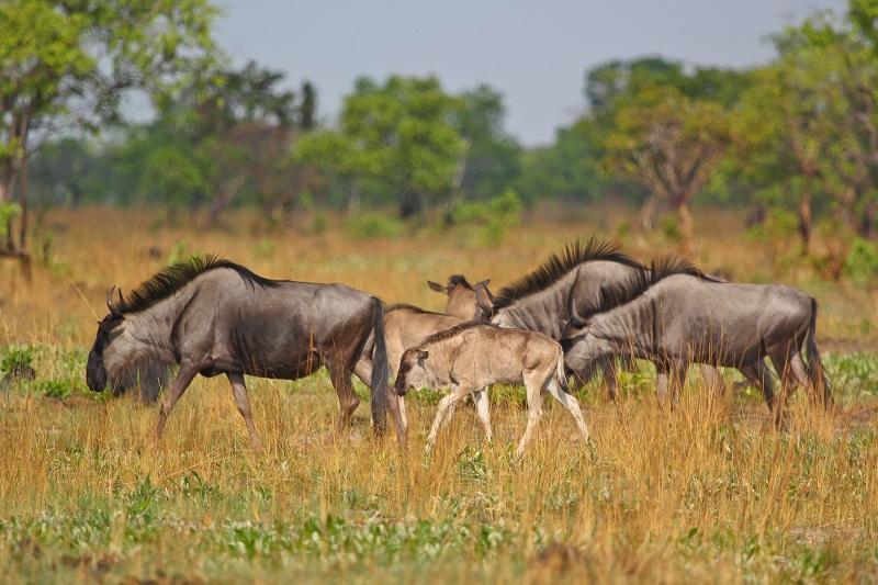 Gnu Herde in Afrika