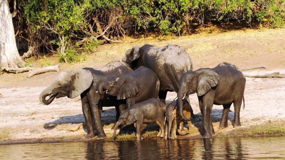 Elefantenfamilie am Ufer des Chobe