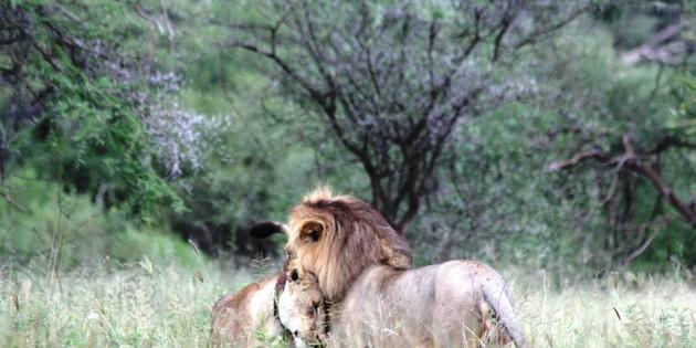 Löwen im Serengeti Nationalpark