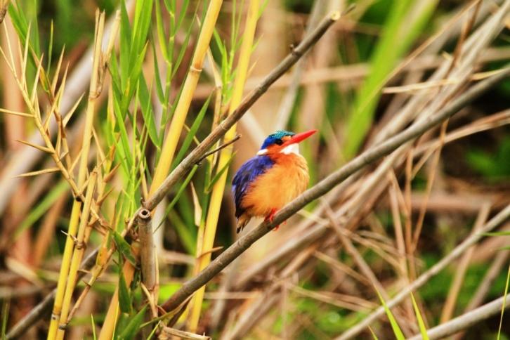 Kolibri in Malawi
