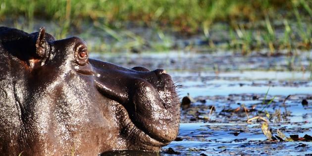 Nilpferd im Fluss Chobe