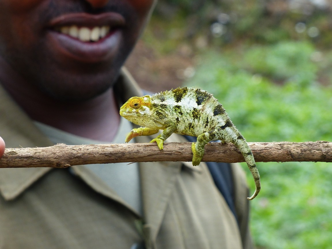 Chamäleon in Uganda