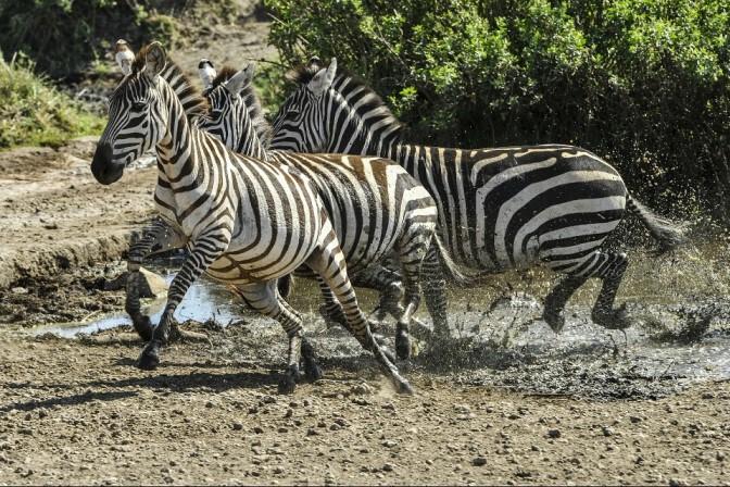 Zebraherde im Serengeti Nationalpark