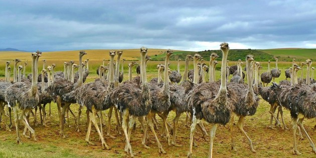 Straußenfarm in Südafrika