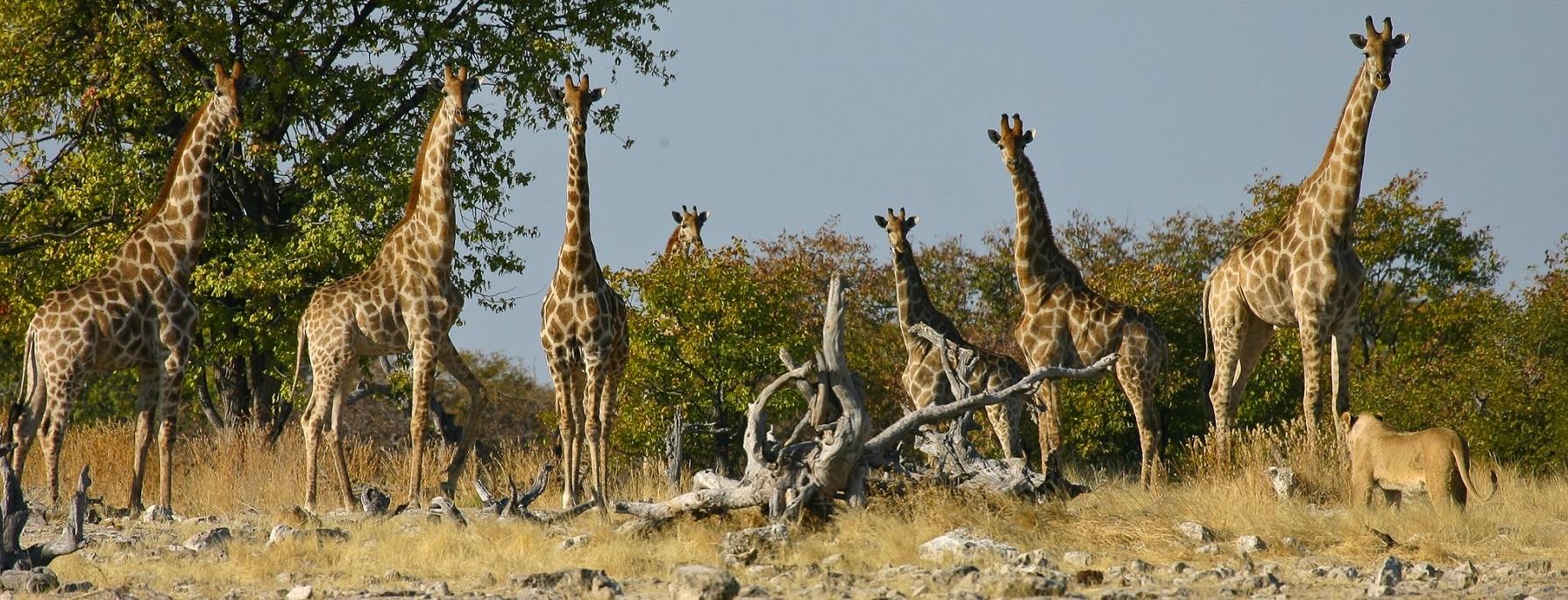 Giraffenherde in Namibia