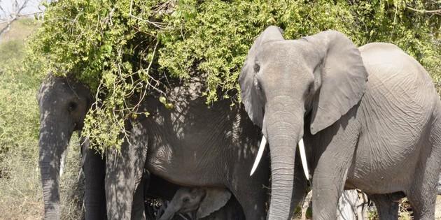 Elefantenfamilie im Chobe Nationalpark