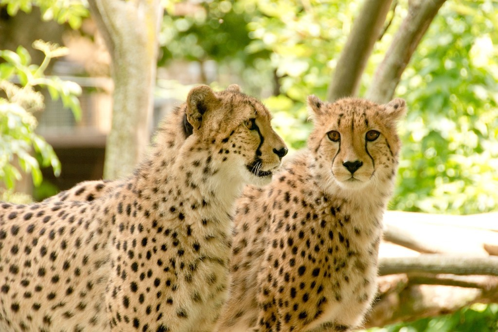 Geparde in Kenia
