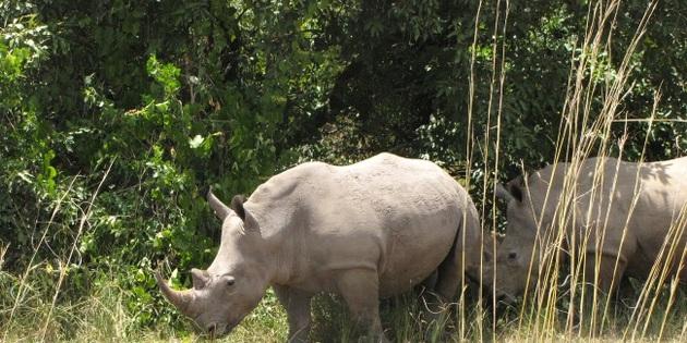 wiesses Nashorn in Südafrika