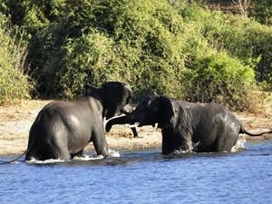 Elefanten im Chobe
