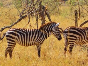 ​Zebras im Serengeti Nationalpark