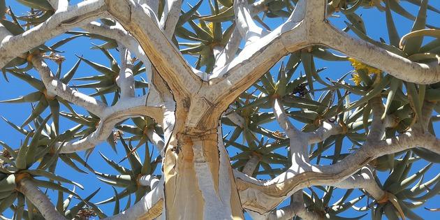 Namibia BaobabBaum