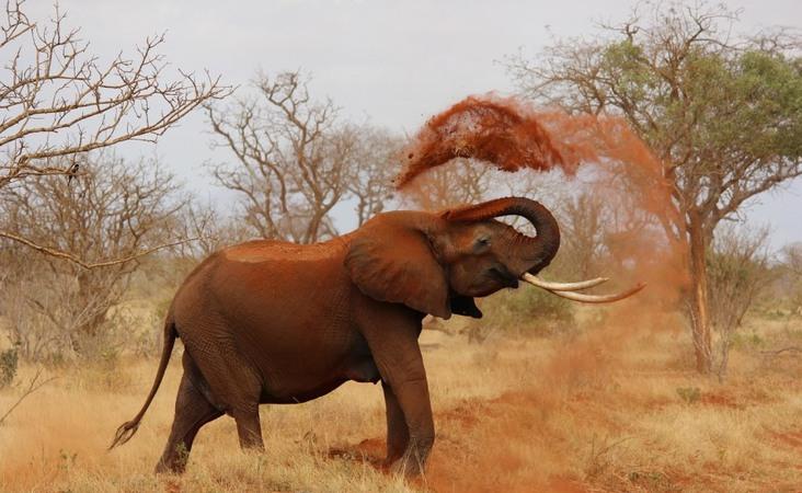 Elefant in Kenia