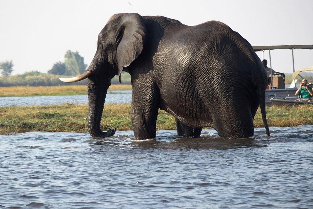 Elefant im Fluss Chobe