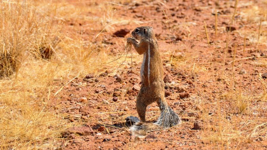 Erdhörnchen im Etosha Nationalpark