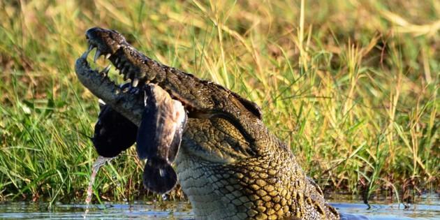 fressendes Krokodil im Fluss Chobe