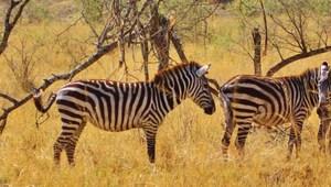 Zebras im Serengeti Nationalpark