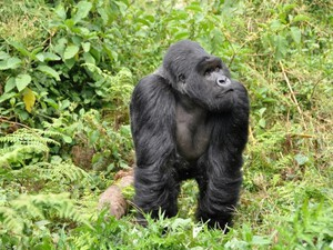 Gorilla im Nationalpark