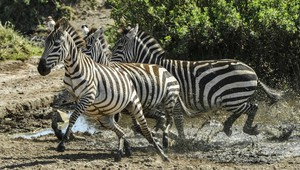 Zebraherde im Serengeti Nationalpark