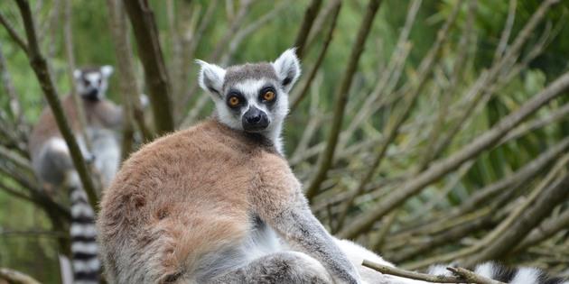 Lemur auf Madagaskar