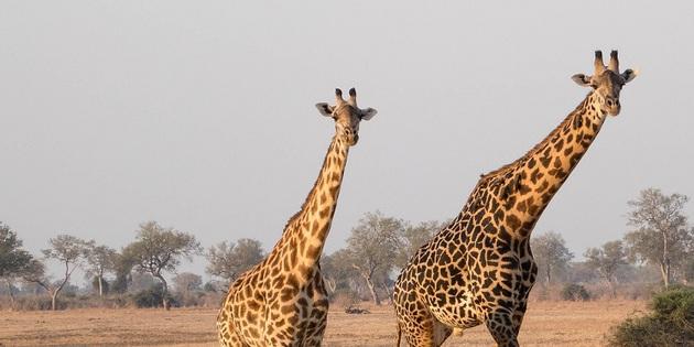 Giraffenpaar in Afrika