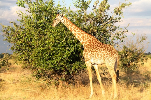 Giraffe im Nationalpark