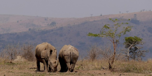 Nashörner im Krüger Nationalpark