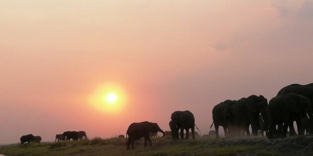 Sonnenuntergang am Chobe River Elefanten