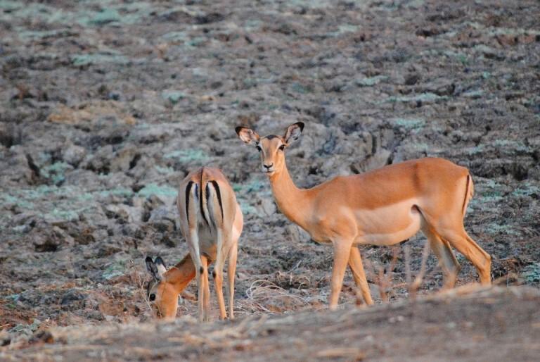 Impalapärchen in Afrika