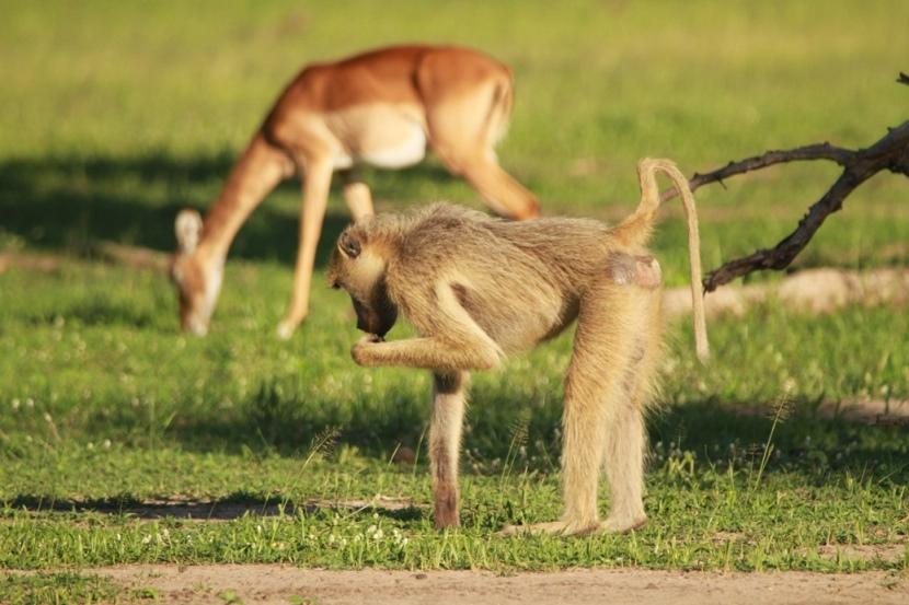Affe und Antilope in Malawi