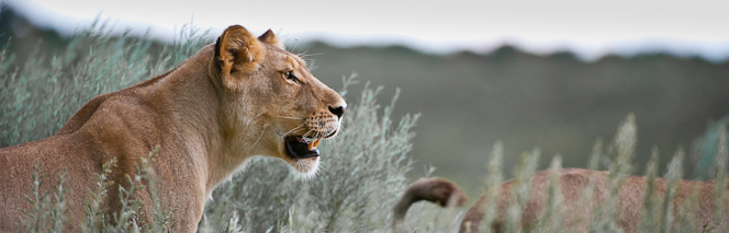 Löwe im Chobe Nationalpark