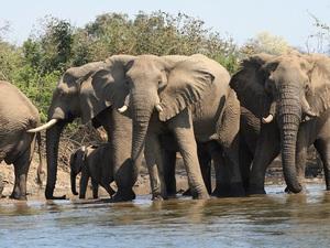 badende Elefanten in Zambesi
